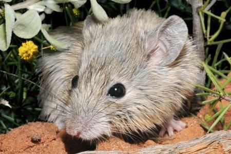 Tìm thấy chuột tưởng đã tuyệt chủng 150 năm trước sống trên đảo